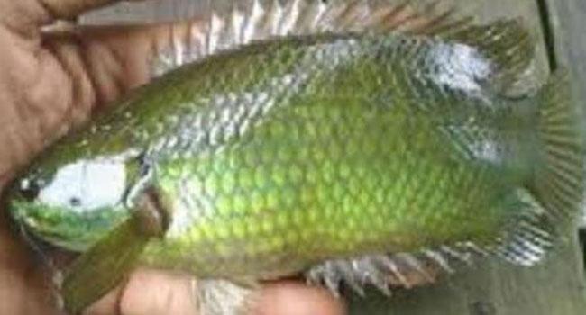 গলায় কৈ মাছ আটকে চন্দনাইশে এক ব্যক্তির মৃত্যু