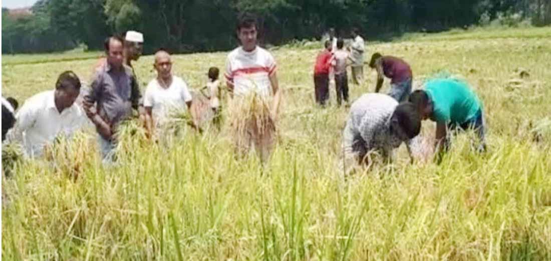 চন্দনাইশে ধান কাটা নিয়ে স্বস্তিতে কৃষক
