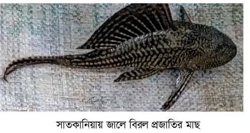 সাতকানিয়ায়  শিকারীর জালে বিরল জাতের মাছ!